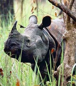 One-Horn-Rhino-in-Chitwan-National-Park